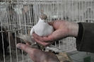 Targi golebi_57