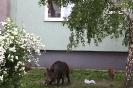 Dziki na Przerobce_6